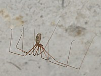 Pholcus, pholcus phalangioides