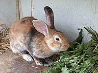 Lapin, oryctolagus cuniculus