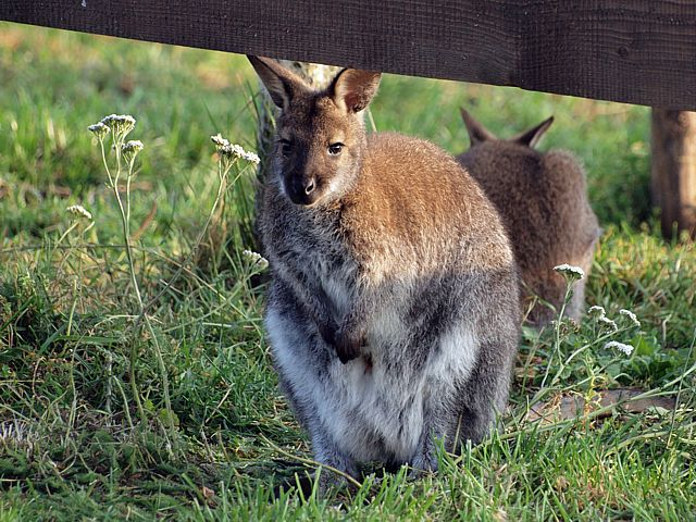 Wallaby, macropus agilis