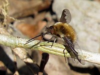 Grand bombyle, bombylius major