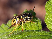 Guêpe germanique, paravespula germanica