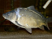 Carpe miroir, cyprinus carpio