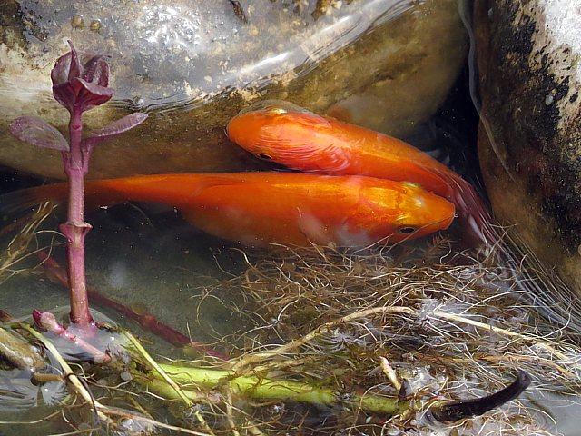 Poissons rouges for Ou trouver des poissons rouges