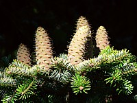 Epicéa, picea abies