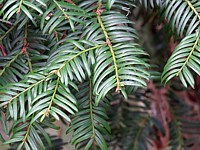 If, taxus baccata