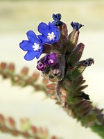 Petite buglosse, anchusa arvensis