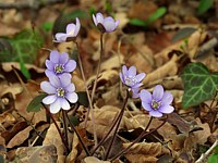 Hépatique, hepatica nobilis